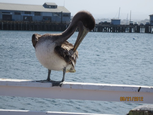 One of many pelicans at the wharf